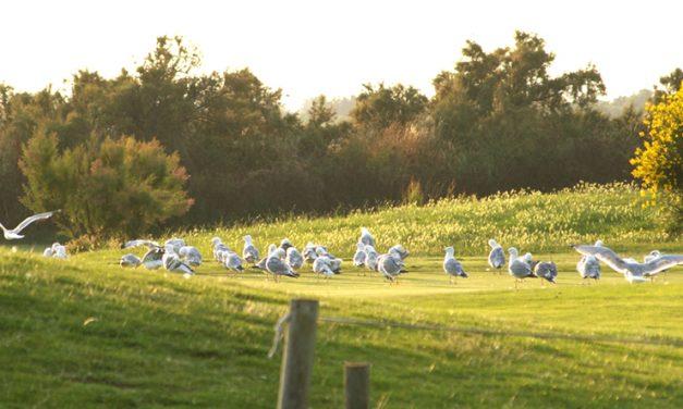 Les « golfeurs îloutiers » à Ré et à Oléron